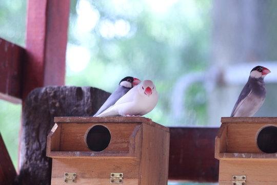 巣箱にいる文鳥の写真|屋内・ペット