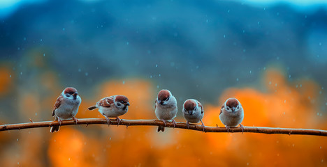 Photo sur Aluminium Oiseau funny many little birds sparrows sitting on a branch in a bright autumn Park under the cold rain