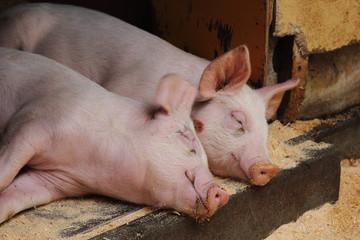 昼寝をする二頭の子豚の写真|家畜・畜産のイメージ