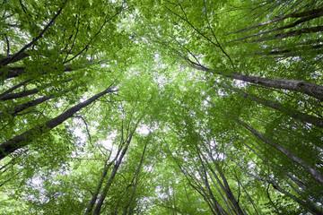 Otzarreta  beech forest in Spain.