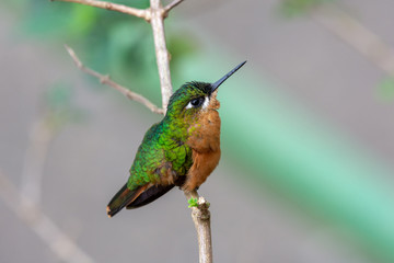 Beautifil bird Brazilian Ruby, n a branch in Atlantic Rainforest biome
