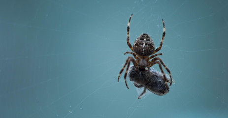 Spider eating its prey on a spider's web