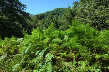 Spectacular And Dense Green Vegetation Of Ferns And Oak Wood