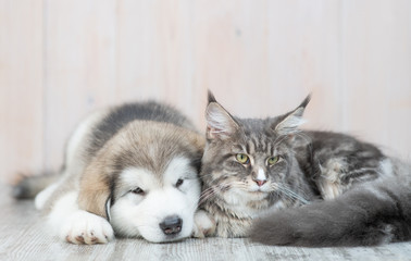 Alaskan malamute puppy and adult maine coon cat lying together on the floor at home Wall mural