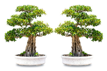 Foto op Plexiglas Bonsai bonsai tree lsolated on white background
