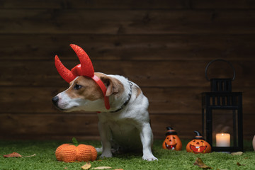 Dog Pet Jack Russell Terrier Dressed In Costume