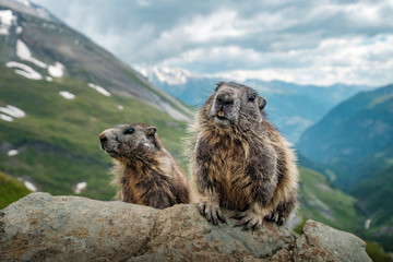 marmot in the mountains Wall mural