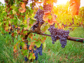 Ripe grapes hung on vineyards of grape trees. In the morning vineyard.