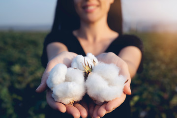 natural product, raw cotton flowers on woman's hands on green cotton field outdoor background