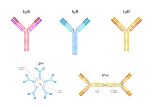 Types of Antibodies and immunoglobulin structure vector / infographic