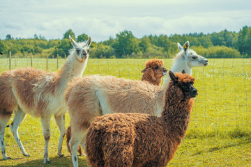 Tuinposter Lama Cute alpacas and lamas at the farm