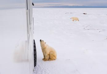 Poster Ijsbeer POLAR BEAR (Ursus maritimus), Churchill, Hudson Bay, Manitoba, Canada, America