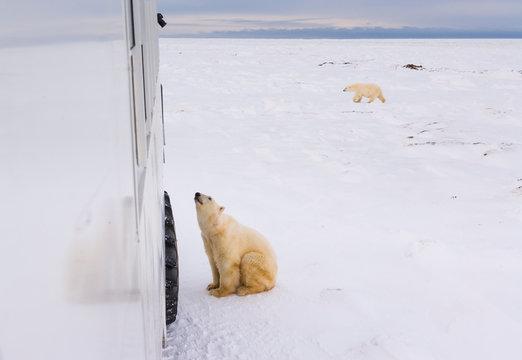 POLAR BEAR (Ursus maritimus), Churchill, Hudson Bay, Manitoba, Canada, America