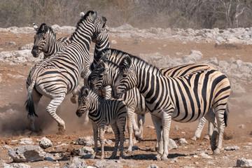 Furniture stickers Zebra Zebras Fighting in a Herd in Etosha National Park