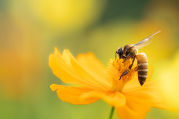 In de dag Bee Closeup nature view of flower and bee on blurred greenery background in garden with copy space using as background natural flower landscape, ecology, fresh wallpaper concept.
