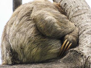 Sloth sleeping on a tree, close up on its claws - Itamaraca Island - Pernambuco, Brazil
