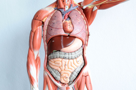 human muscle anatomy model