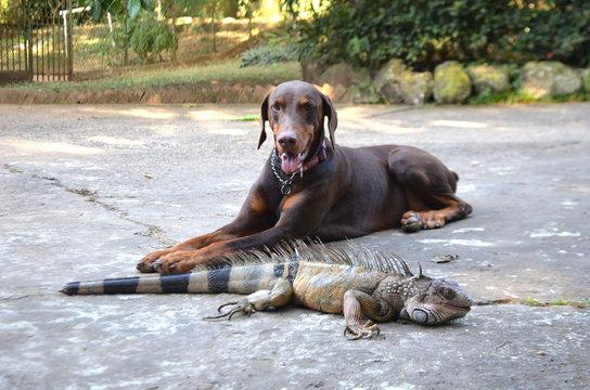 Un doberman junto a la iguana
