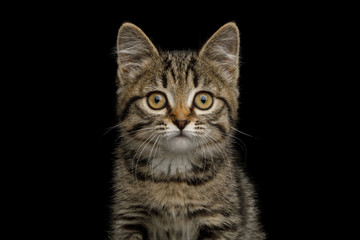 Portrait of brown Kitten with tortoise fur on isolated background, front view