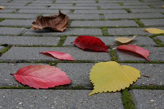 Red, yellow, brown, dry fallen leaves on the sidewalk of a gray tile with green moss