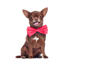 Happy brown chihuahua dog wearing pink bow tie