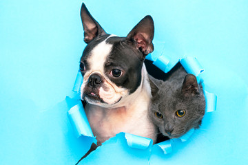 A gray cat and a Boston Terrier poke their heads out of a hole in the paper.