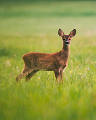Foto auf AluDibond Reh Deer