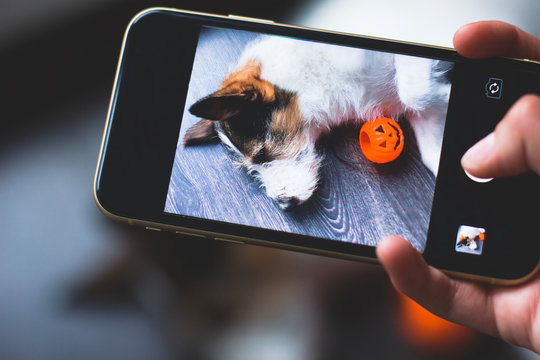 Hands taking dog sleeping on mobile phone. Puppy selfie for Halloween holiday on a wooden background, making selfie through the phone on a smartphone or camera, next to pumpkin jack.