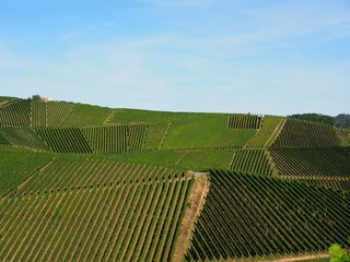 Lines of vines over the hillside
