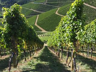 Steep rows of vines