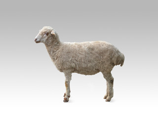 Poster Lama Young sheep on a light background