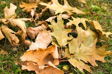 Suche jesienne liście na trawniku