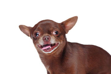 Funny headshot portrait of  a brown chihuahua