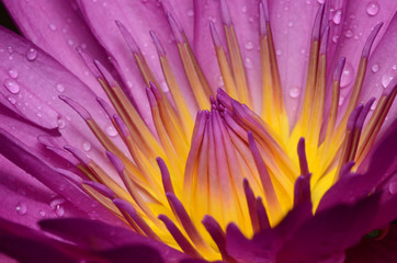 Take close-up pictures of lotus flowers in bright colors and see beautiful petals arranged naturally.