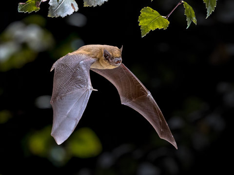 Flying Pipistrelle bat iin natural forest background