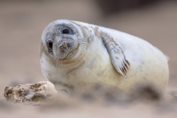 Cute baby harbor seal