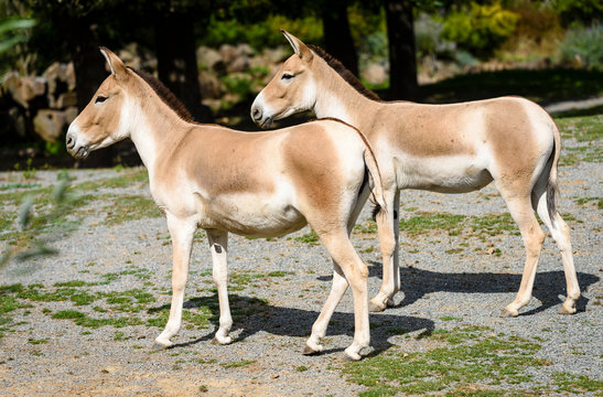 The Turkmenian kulan, Equus hemionus kulan, is a rare Asian donkey