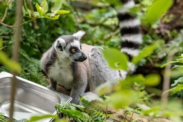 Garden Poster Monkey ring-tailed lemur looks around with fright
