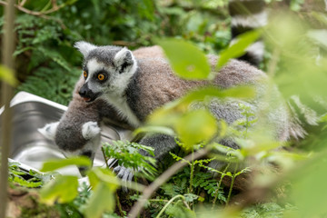 Foto auf Acrylglas Affe ring-tailed lemur looks around with fear