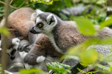 Wall Murals Monkey ring-tailed lemur looks