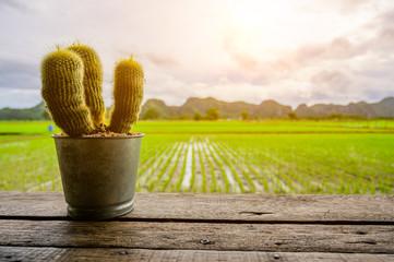 Cactus on wood table on Beautiful Organic green paddy-field