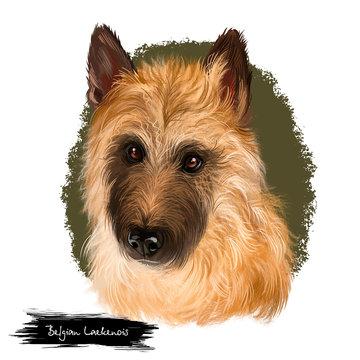 Belgian Laekenois, Belgian Shepherd Dog, Laeken herding breed dog digital art illustration isolated on white background. Belgian origin working dog. Cute pet hand drawn portrait. Graphic clip art.