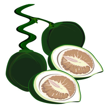 Betel nut and betel leaf, red lime(calcium hydroxide), traditional Asian chewing and prepared for sacrifice  , tropical leaves. Drawing a flat illustration for a separate background