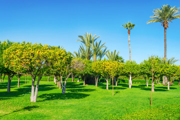 Beautiful parks and gardens in Marrakesh. Morocco. Palm and orange trees. Sights. Wall mural