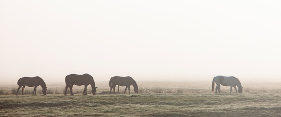 silhouettes of four horses in morning mist on german countryside of ostfriesland