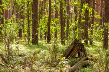Obraz Summer in the forest, Kampinos National Park (Kampinoski Park Narodowy), Mazovia, Poland. - fototapety do salonu