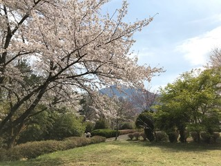 Cherry Blossom in a Sunny Spring Day
