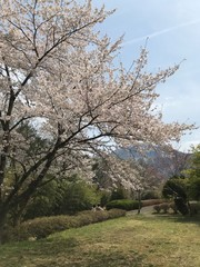 Cherry Blossom in a Sunny Spring Day with Mountains