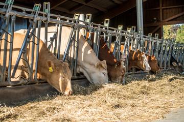 Wall Mural - Kühe fressen Heu und Silage im Kuhstall