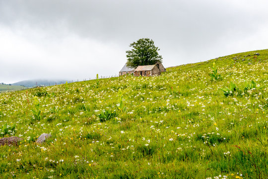 In the pastures of Aubrac, a tree grows in the middle of two solitary sheepfolds